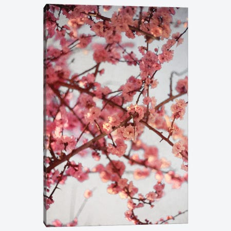 Cherry Blossoms I Canvas Print #SBT54} by Susan Bryant Canvas Art