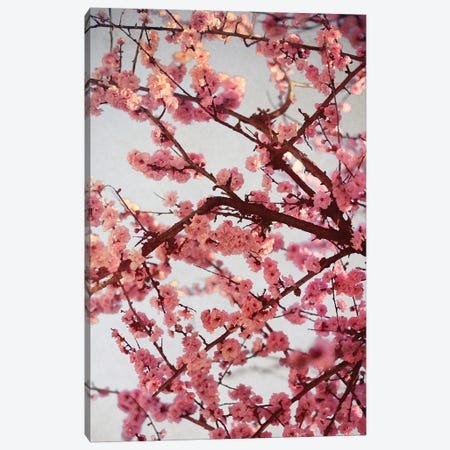 Cherry Blossoms II Canvas Print #SBT55} by Susan Bryant Canvas Art