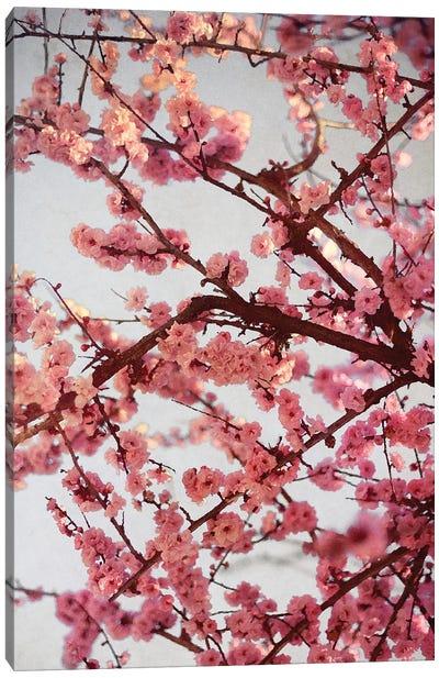 Cherry Blossoms II Canvas Art Print