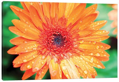 Orange Gerbera Canvas Art Print