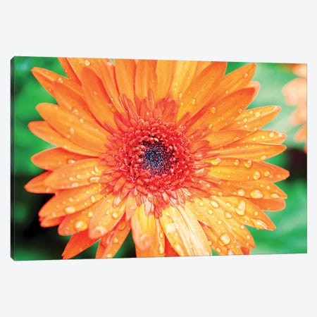 Orange Gerbera Canvas Print #SBT70} by Susan Bryant Art Print
