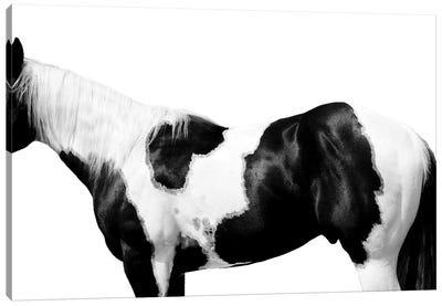 Pinto Canvas Art Print