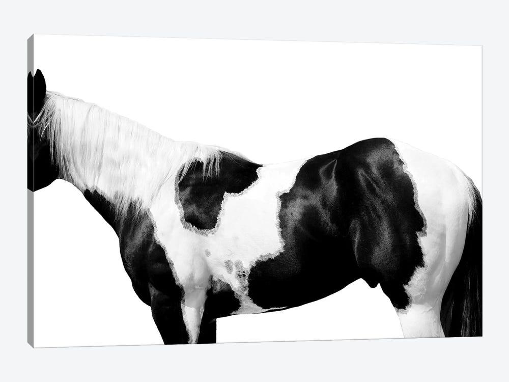 Pinto by Samantha Carter 1-piece Canvas Print