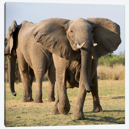 Charging Elephant Canvas Print #SCB11} by Scott Bennion Canvas Art