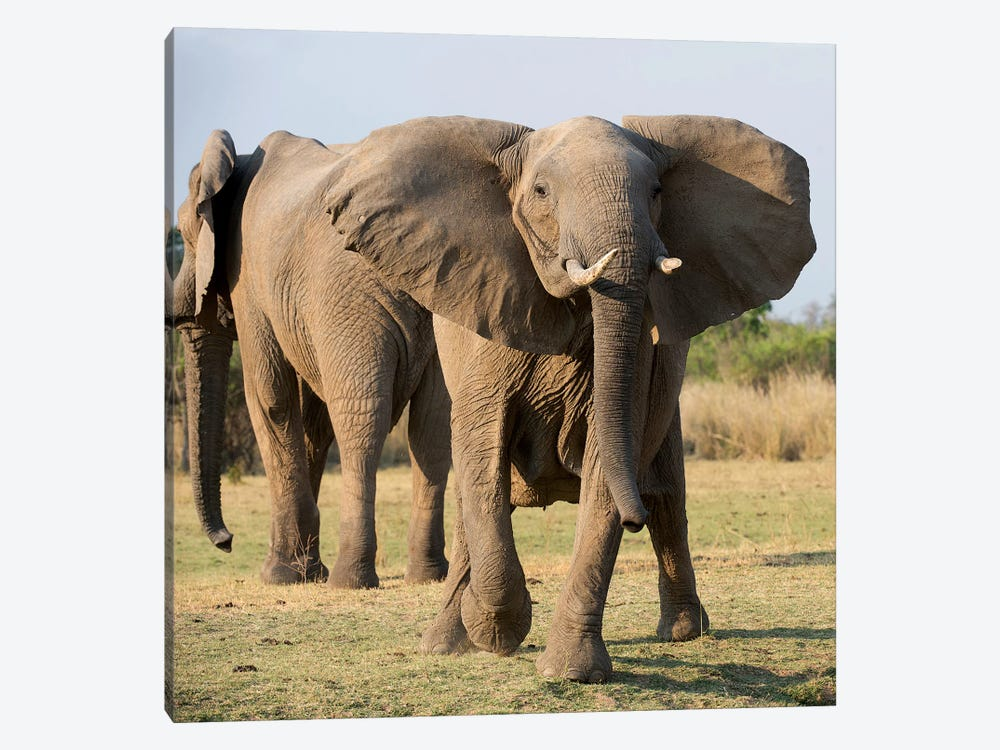 Charging Elephant 1-piece Canvas Art Print