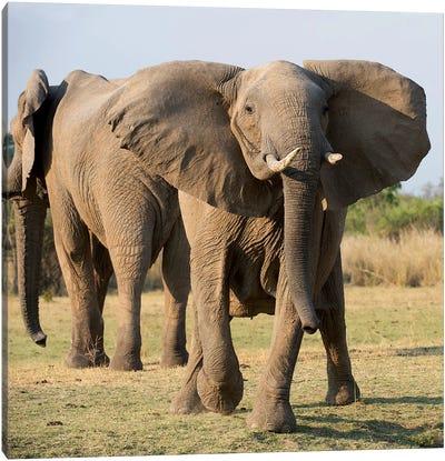 Charging Elephant Canvas Art Print