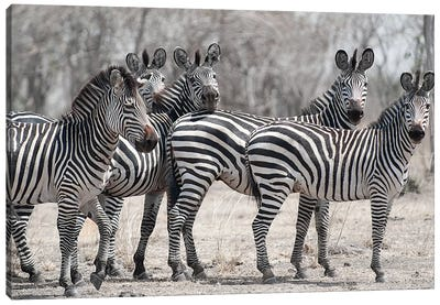 Curious Zebras Canvas Art Print
