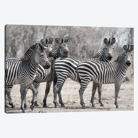 Curious Zebras Canvas Print #SCB16} by Scott Bennion Art Print