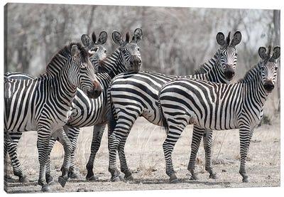 Curious Zebras Canvas Art Print