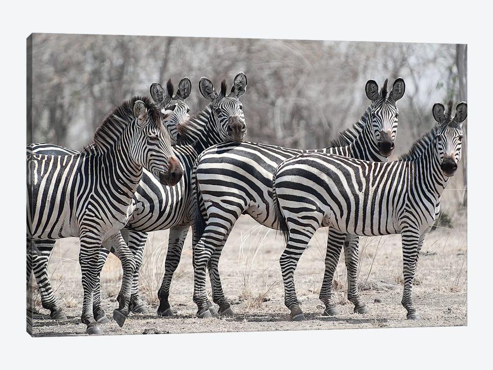 Curious Zebras by Scott Bennion 1-piece Canvas Art
