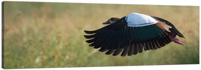 Egyptian Goose Canvas Art Print