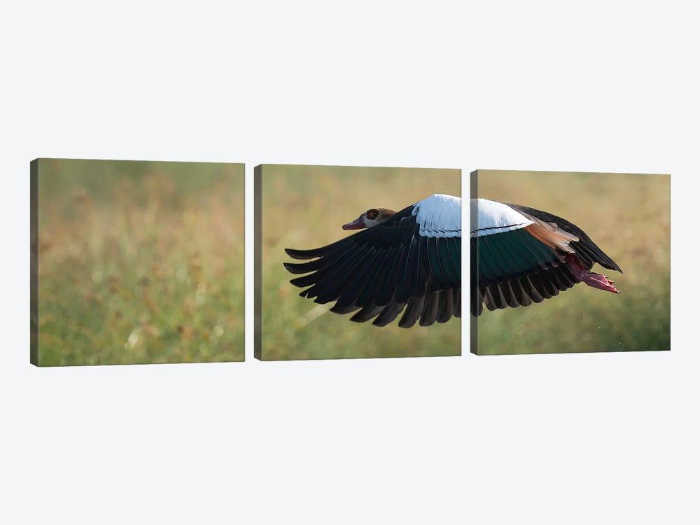 Egyptian Goose by Scott Bennion 3-piece Canvas Print