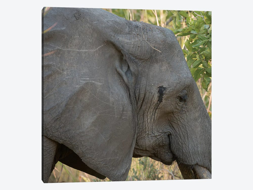 Female Elephant - Zambia by Scott Bennion 1-piece Canvas Artwork