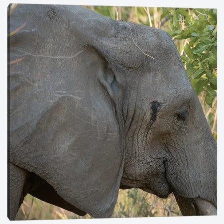 Female Elephant - Zambia Canvas Print #SCB21} by Scott Bennion Canvas Print