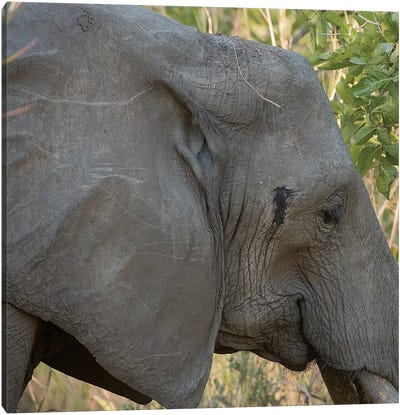 Female Elephant - Zambia Canvas Art Print