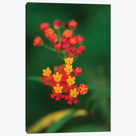 Flowers From Guatemala Canvas Print #SCB22} by Scott Bennion Art Print