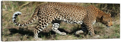 Leopard Hunting Canvas Art Print
