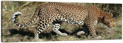 Leopard Hunting Canvas Art Print