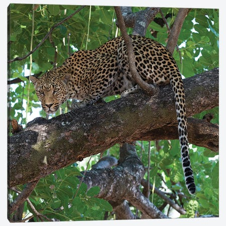Leopard In A Tree Canvas Print #SCB33} by Scott Bennion Canvas Art