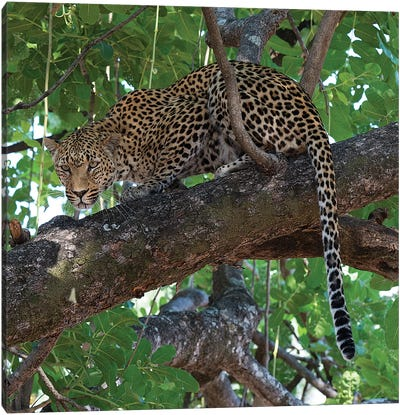 Leopard In A Tree Canvas Art Print