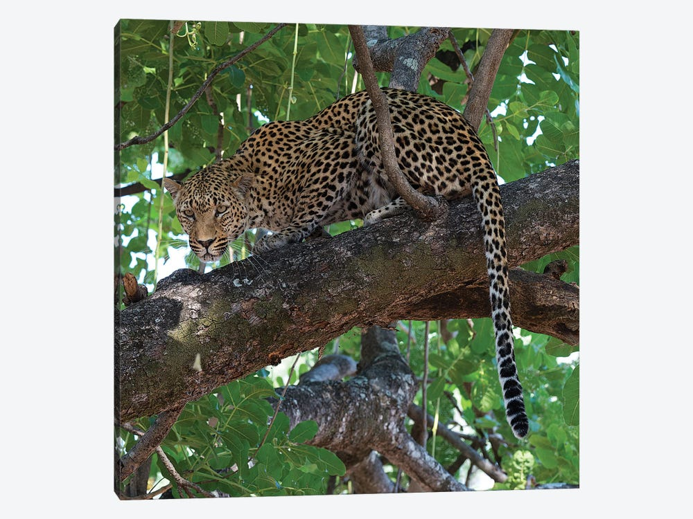 Leopard In A Tree by Scott Bennion 1-piece Canvas Print
