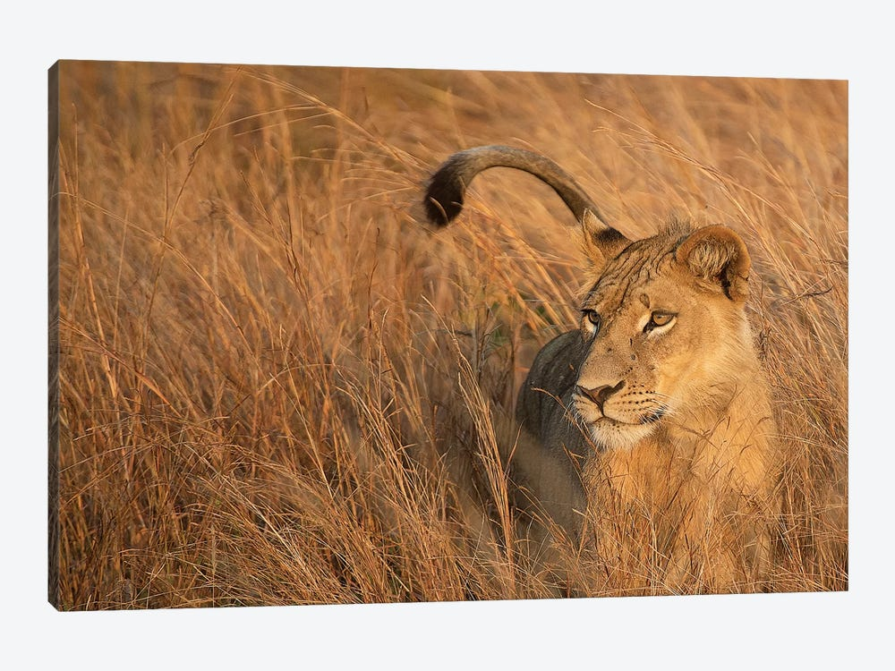 Lion In Tall Grass by Scott Bennion 1-piece Canvas Print
