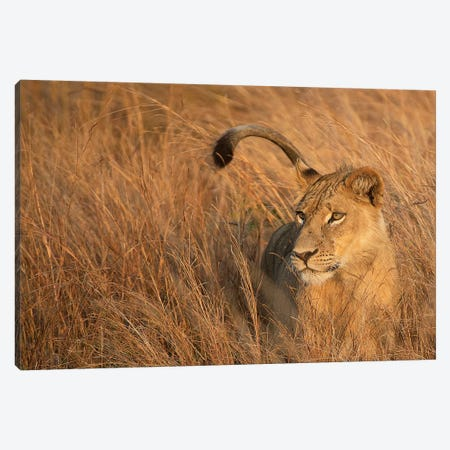 Lion In Tall Grass Canvas Print #SCB37} by Scott Bennion Canvas Print