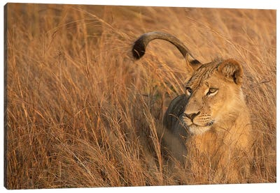 Lion In Tall Grass Canvas Art Print