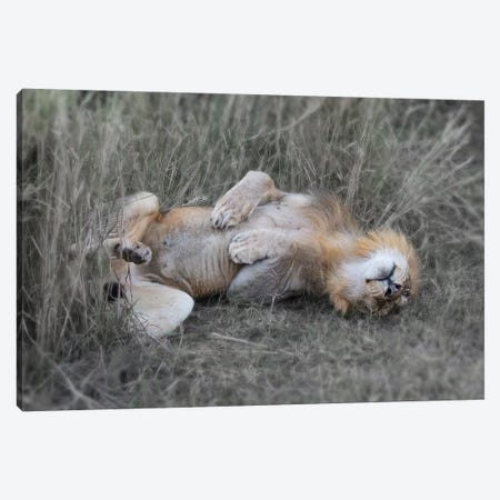Lion On his back Canvas Print #SCB38} by Scott Bennion Canvas Wall Art