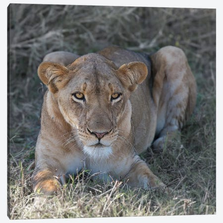 Lioness Canvas Print #SCB39} by Scott Bennion Canvas Artwork