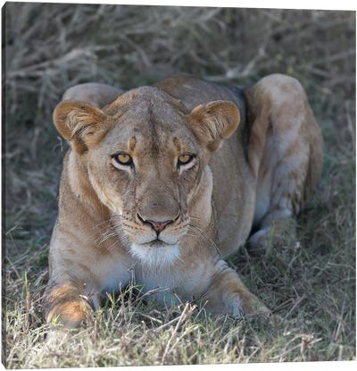 Lioness Canvas Print #SCB39