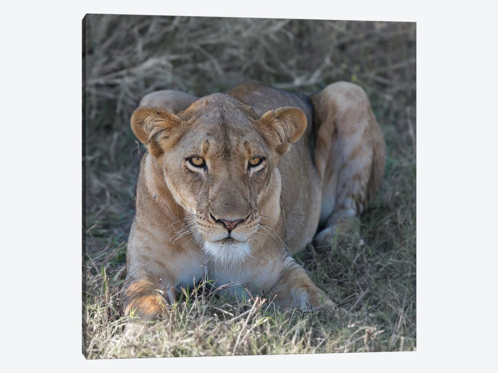 Lioness by Scott Bennion 1-piece Canvas Art Print