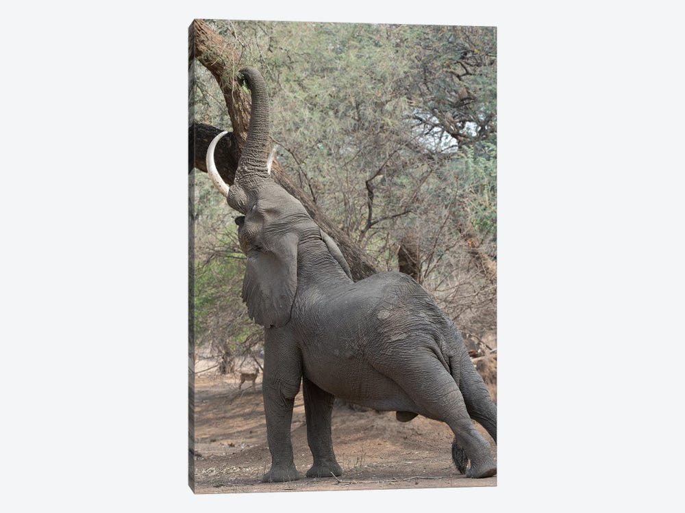 Reaching Elephant - Mana Pools 1-piece Canvas Wall Art