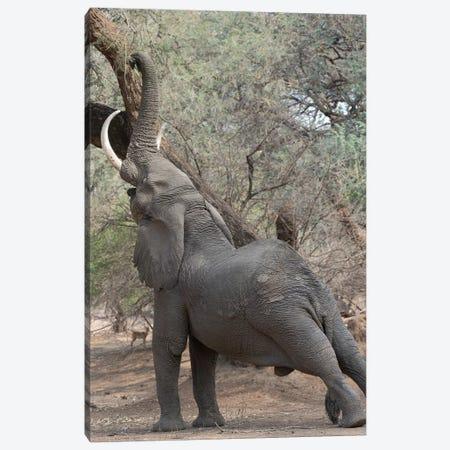 Reaching Elephant - Mana Pools Canvas Print #SCB52} by Scott Bennion Canvas Artwork