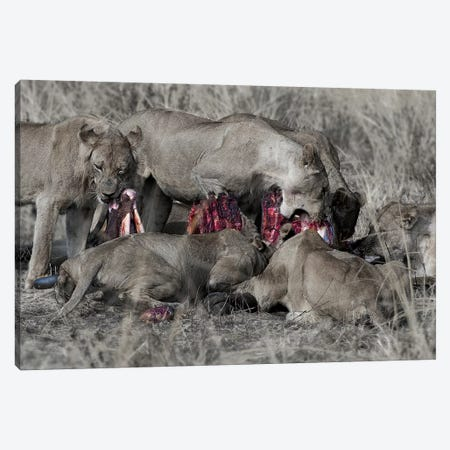 South Luangwa Lions Canvas Print #SCB56} by Scott Bennion Canvas Art Print