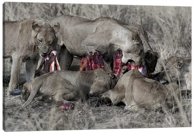 South Luangwa Lions Canvas Art Print