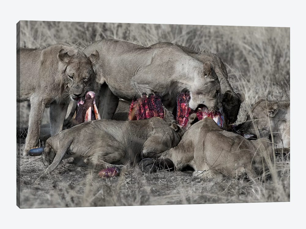 South Luangwa Lions by Scott Bennion 1-piece Canvas Artwork