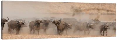 Spooked Buffalo Canvas Art Print