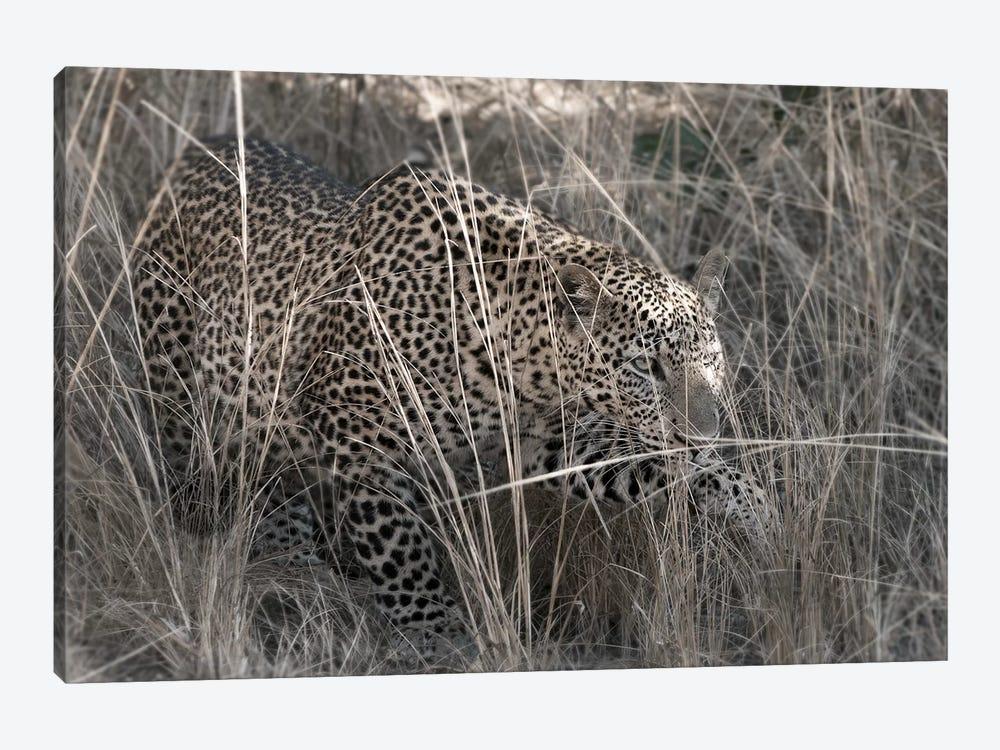 Stalking Leopard by Scott Bennion 1-piece Art Print