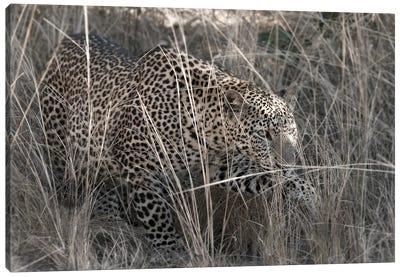 Stalking Leopard Canvas Art Print