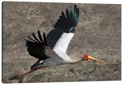 Yellow Billed Stork With Dinne Canvas Print #SCB72
