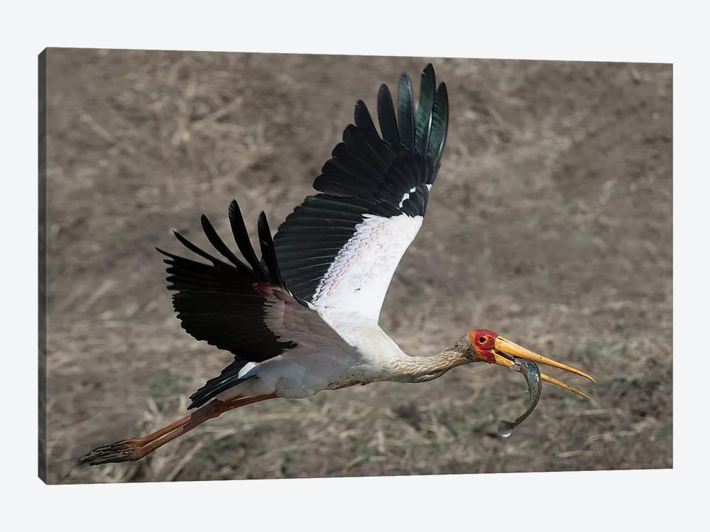 Yellow Billed Stork With Dinne by Scott Bennion 1-piece Canvas Art