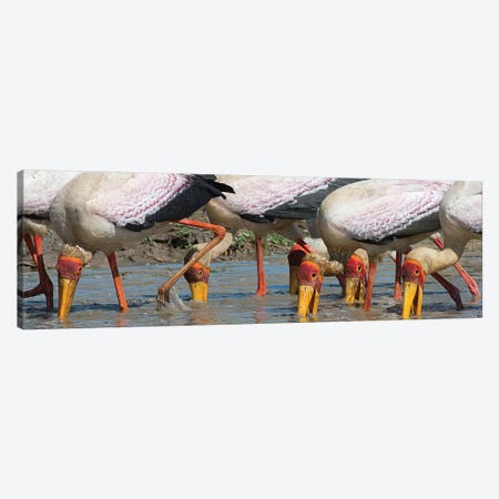 Yellow Billed Storks Fishing Canvas Print #SCB73} by Scott Bennion Canvas Art
