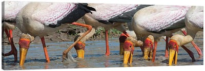 Yellow Billed Storks Fishing Canvas Print #SCB73