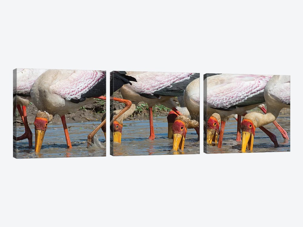 Yellow Billed Storks Fishing 3-piece Canvas Art Print