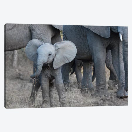 Young Elephant Canvas Print #SCB74} by Scott Bennion Canvas Art Print