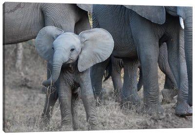 Young Elephant Canvas Art Print