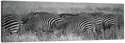 Zebra Patterns Canvas Art Print