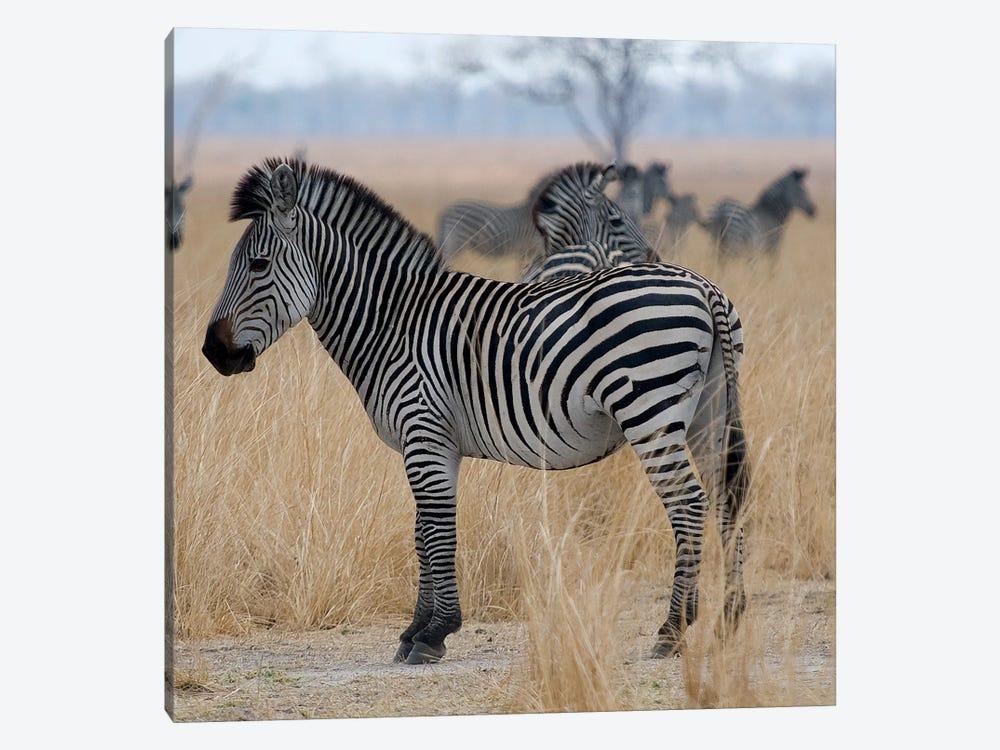 Zebras At A Glance by Scott Bennion 1-piece Canvas Print