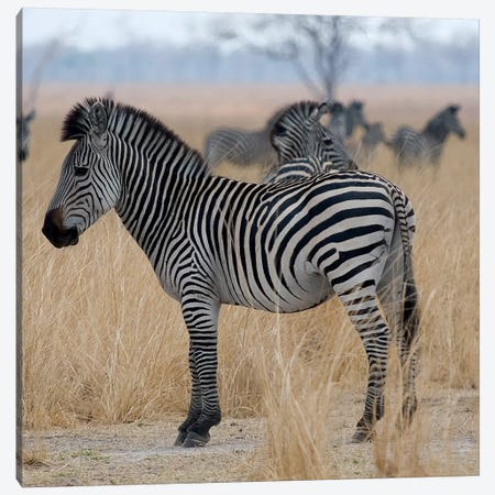 Zebras At A Glance Canvas Print #SCB80} by Scott Bennion Art Print
